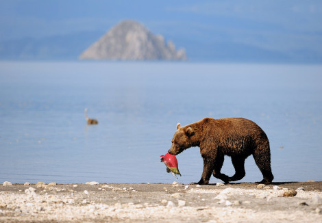 Kam-bear-IgorShpilenok_231-470x326